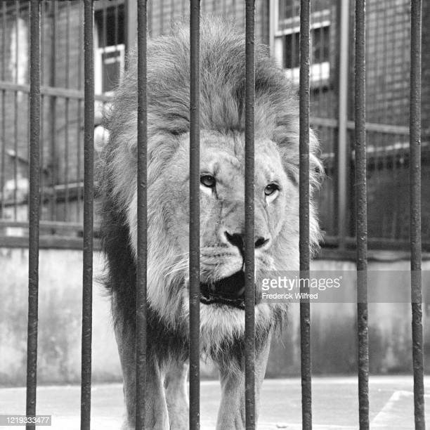 A lion looking through cage bars at the London Zoo London UK 1960