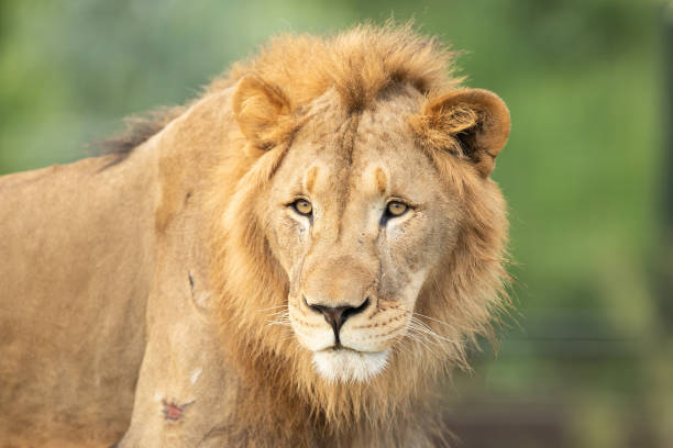 Lion looks out from its enclosure at Sydney Zoo on February 24, 2020 in Sydney, Australia. Sydney Zoo, located at Bungarribee Park in Western Sydney,...