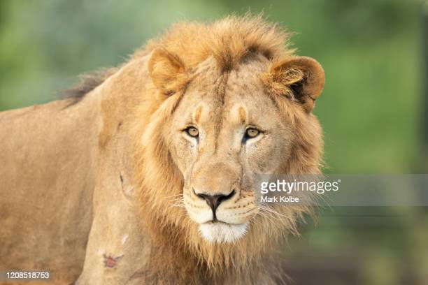 A lion looks out from its enclosure at Sydney Zoo on February 24 2020 in Sydney Australia Sydney Zoo located at Bungarribee Park in Western Sydney is...