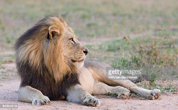 lion lying down in dirt - lying down stock-fotos und bilder