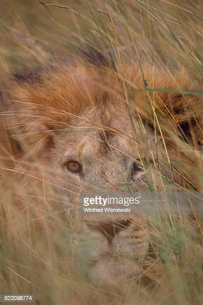 lion lying in tall grass - male animal stock pictures, royalty-free photos & images