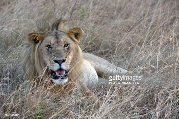 Lion lying in the tall grass on the savannah, Maasai Mara national reserve, Kenya.