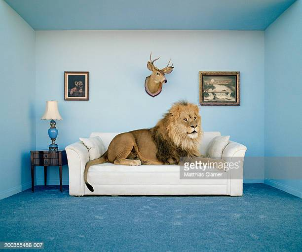 lion lying on couch, side view - feline stock pictures, royalty-free photos & images
