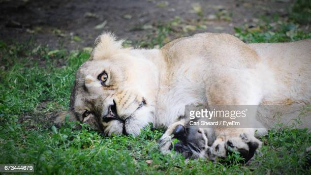 lion lying on grass at chester zoo - chester zoo stock pictures, royalty-free photos & images