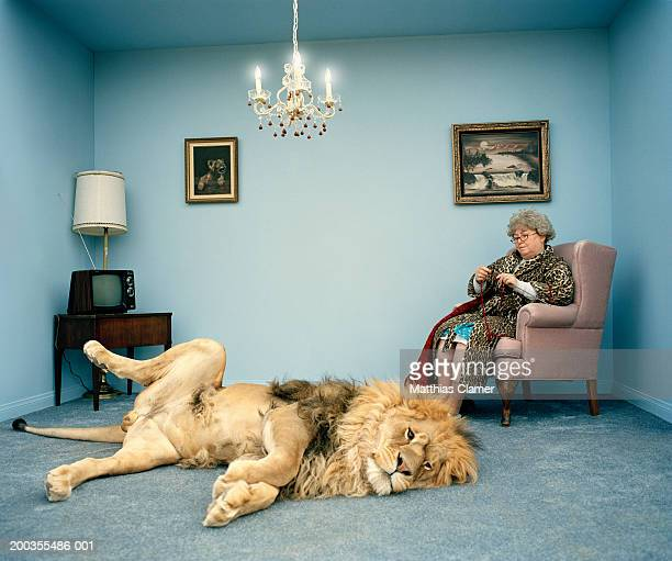 lion lying on rug, mature woman knitting - image foto e immagini stock