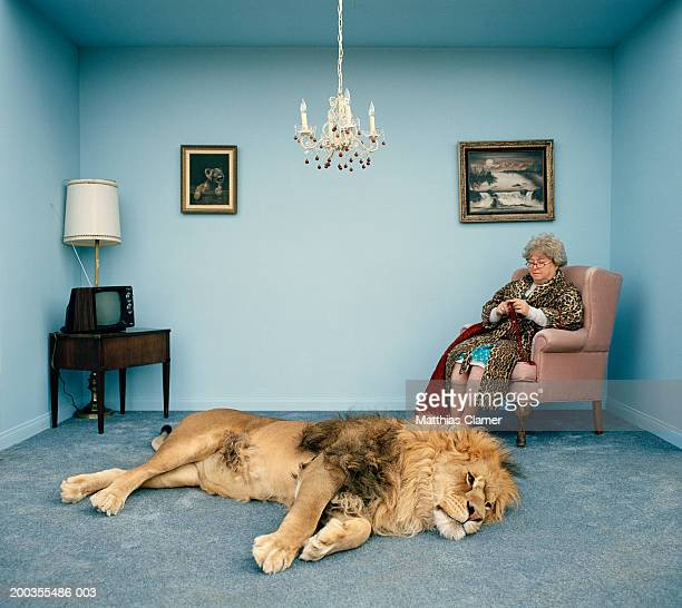 lion lying on rug, mature woman knitting - tame stock photos and pictures