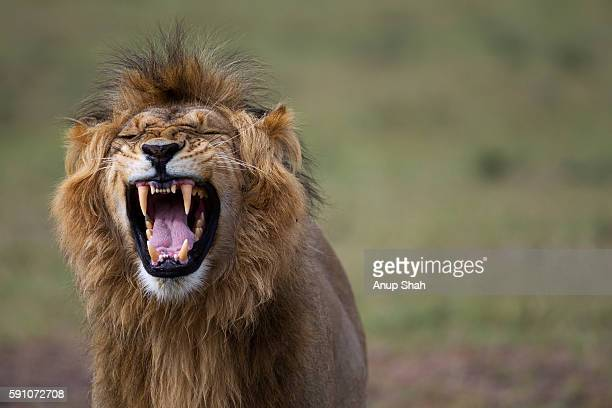 lion male making a 'flemen' gesture to inhale the smell of nearby females - lion stock pictures, royalty-free photos & images