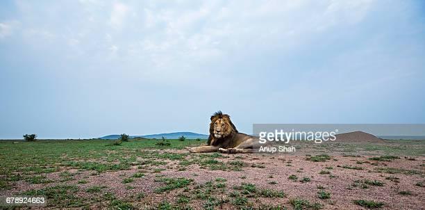 Lion male resting