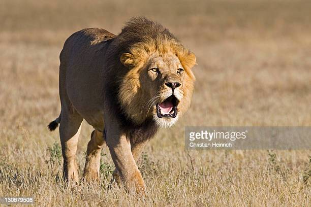 lion (panthera leo), male roaring, central kalahari game reserve, botswana, botswana, africa - male animal stock photos and pictures