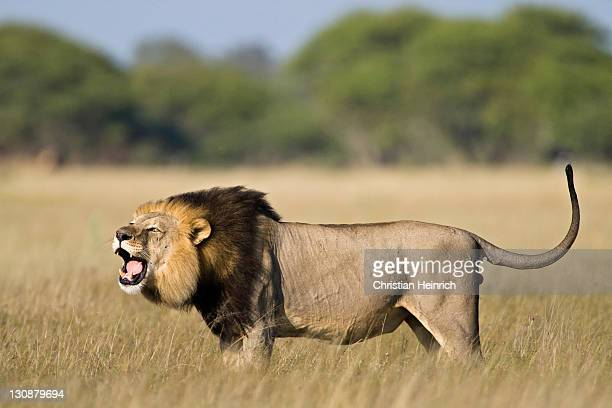 Lion (Panthera leo), male roaring, Central Kalahari Game Reserve, Botswana, Botswana, Africa
