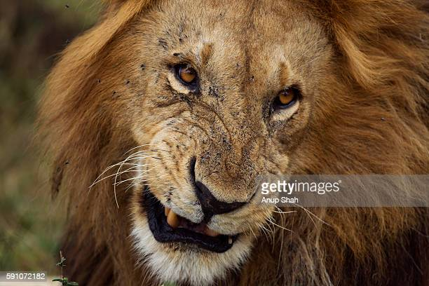 Lion male snarling