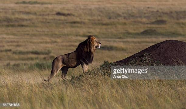 Lion male standing by a termite mound