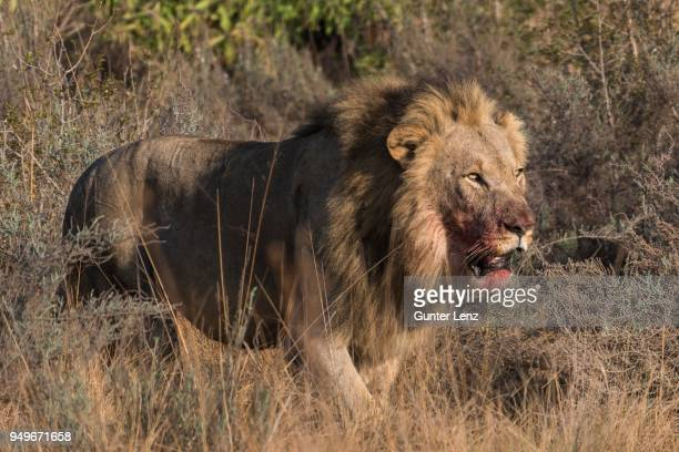 Lion (Panthera leo), male with blood on his mouth running through bushland, Welgevonden Privat Game Reserve, Waterberge, Limpopo, South Africa