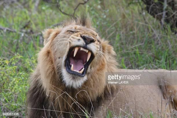 Lion male yawns