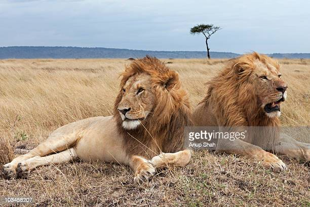 Lion males lying on a grass mound