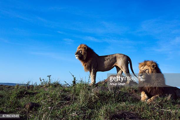 Lion males on look out