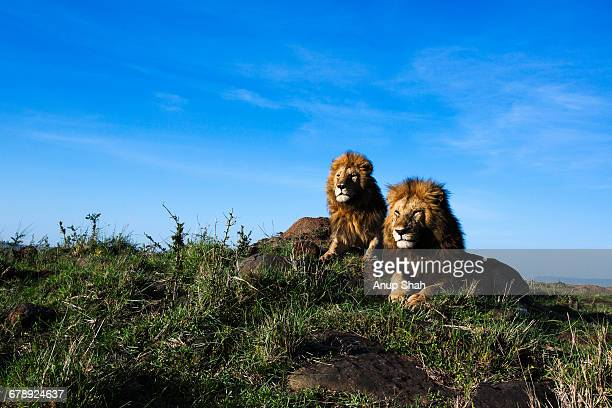 Lion males resting