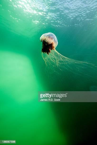 Lion Mane jellyfish under iceberg