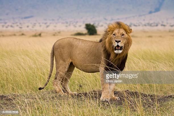 Lion (Panthera Leo), Masai Mara National Reserve, Kenya, Africa; Lion growling