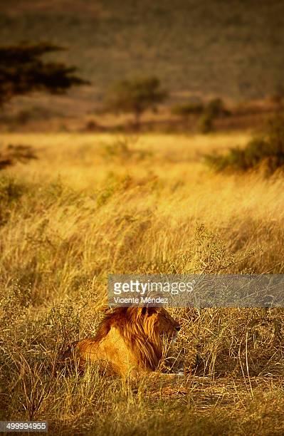 lion, masai mara national reserve - vicente méndez fotografías e imágenes de stock