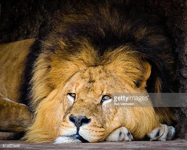 Lion Monday
