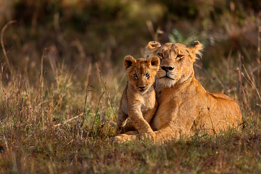 Lion mother with cub 533297303