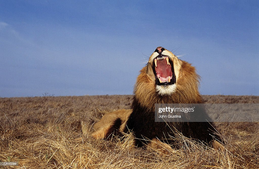 Lion (Panthera leo), mouth wide open : Stock Photo