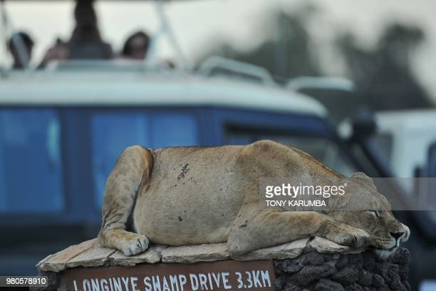 TOPSHOT A lion naps on a roadsign looking out onto the savannah at the Amboseli National Park June 21 2018 Amboseli is among the most renowned case...