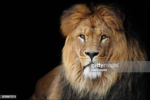 lion on black background - lion stockfoto's en -beelden