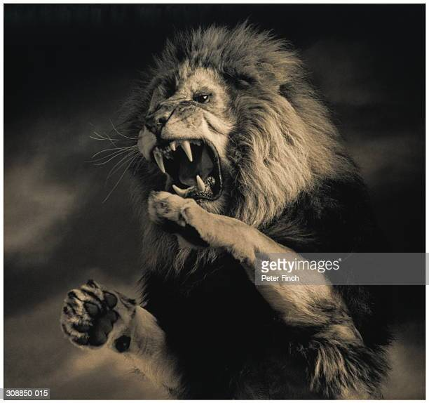 lion (panthera leo) on hind legs, roaring, indoors (toned b&w) - lion feline stock photos and pictures
