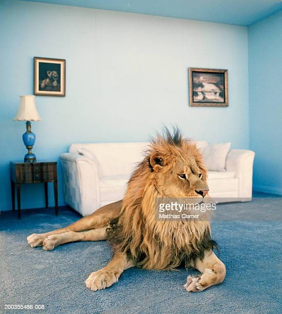 lion on living room rug - tame stock photos and pictures