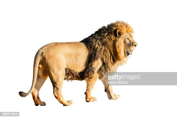 lion on white background, profile and detourable. - lion feline stock pictures, royalty-free photos & images