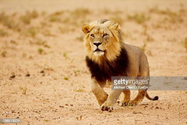 lion outdoors - lion feline stock pictures, royalty-free photos & images