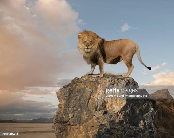 lion overlooking rocky cliff - ライオン ストックフォトと画像