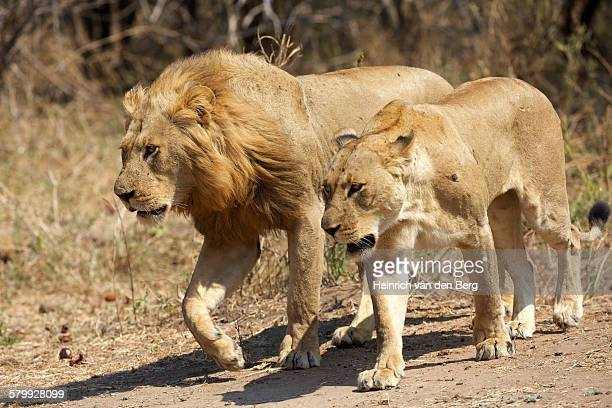 Lion pair, Lower Zambezi National Park