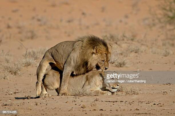 Lion (Panthera leo) pair mating, Kgalagadi Transfrontier Park, the former Kalahari Gemsbok National Park, South Africa