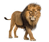 Lion, Panthera Leo, 10 years old, isolated on white