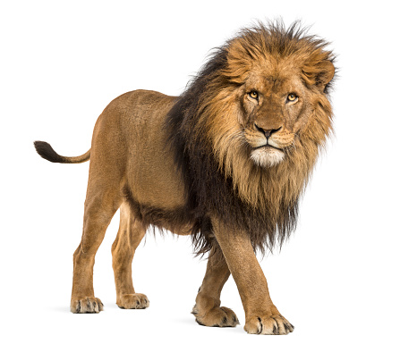Lion, Panthera Leo, 10 years old, isolated on white 877369086