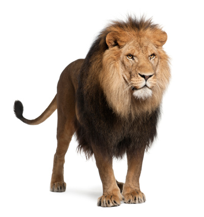 Lion, Panthera leo, 8 years old, standing 134976936