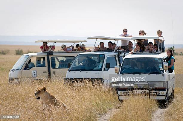 lion panthera leo and tourists in the masai mara - wildlife reserve stock pictures, royalty-free photos & images