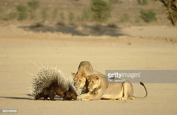 lion panthera leo attacking porcupines south africa - porcupine stock photos and pictures