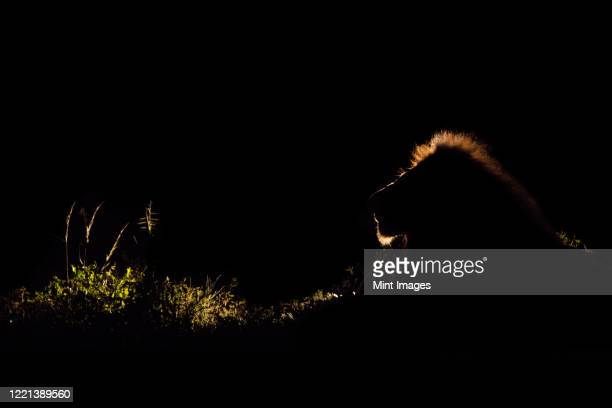 a lion, panthera leo, backlit in the dark with a spotlight, lit up mane - lion stock pictures, royalty-free photos & images