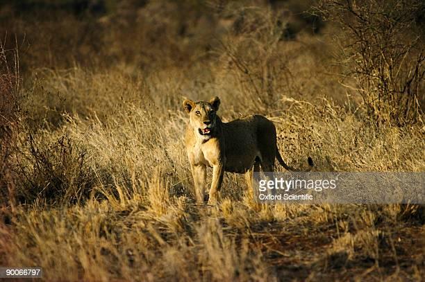 lion panthera leo female tsavo, kenya
