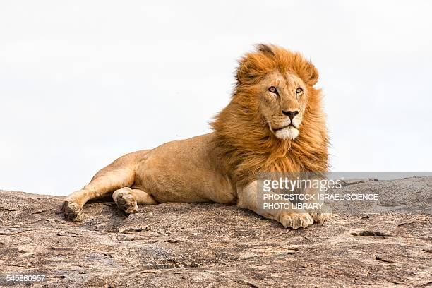 lion panthera leo - lion feline stock pictures, royalty-free photos & images