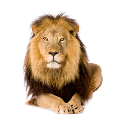 Lion (4 and a half years) - Panthera leo 93215377