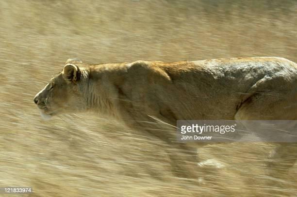lion: panthera leo  running  zimbabwe