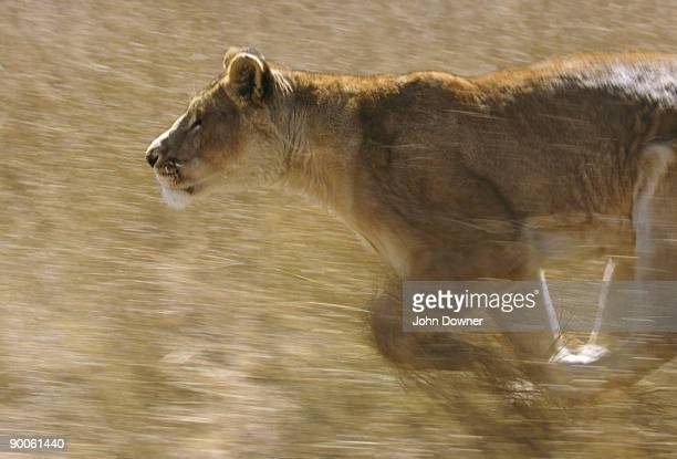 lion panthera leo running zimbabwe