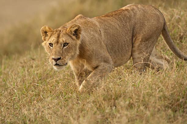 Lion, Panthera leo, Simpa Kopjes, Serengeti NP, Tanzania