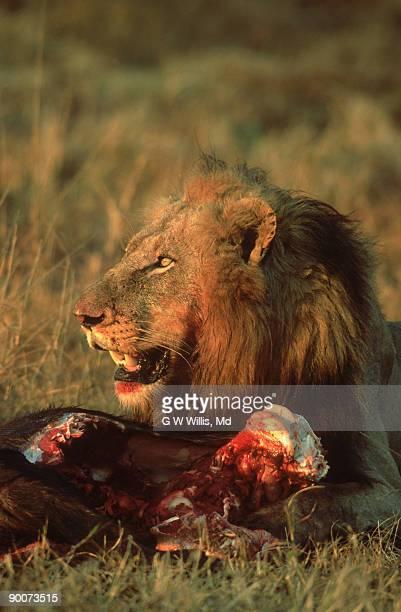 lion: panthera leo  with cape buffalo calf kill  sabi sand r eserve, s.a