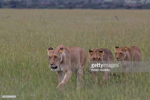 Lion Patrol
